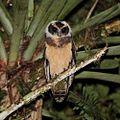 Pulsatrix koeniswaldiana - Tawny-browed Owl (young).jpg