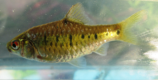 Gold barb species of fish