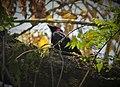 Purple-throated Fruitcrow. Querula purpurata - Flickr - gailhampshire (1).jpg