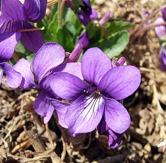 Violet (color) - Image: Purpleflower Violet