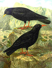 Illustration showing an Alpine chough and a red-billed chough standing on rocks. The black plumage, red legs and characteristic bill colours are evident