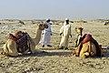 Qatar, camellos 1.jpg