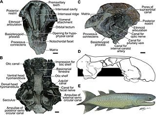 <i>Qingmenodus</i> genus of fishes