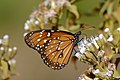 Queen Butterfly (Danaus gilippus) on Jack In The Bush (Chromolaena odorata) flowers ... (28858612755).jpg