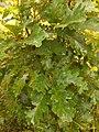 Quercus pubescens, Fagaceae 08.jpg