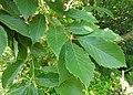 Quercus serrata Kanagawa.jpg