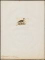 Querquedula flavirostris - 1820-1863 - Print - Iconographia Zoologica - Special Collections University of Amsterdam - UBA01 IZ17600443.tif