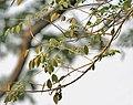 Quickstick (Gliricidia sepium) leaves in Kolkata W IMG 4434.jpg