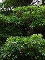 Quinina australiana (Alstonia scholaris) (14274900282).jpg