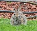 Rabbit (14149523422).jpg