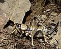 Rainbow scree weta.jpg