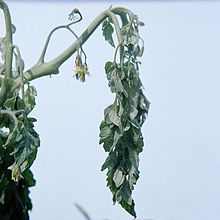 Photo of tomato plant with Ralstonia wilt symptoms