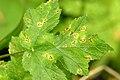 Ramularia.heraclei.-.lindsey.jpg