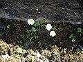 Ranunculus alpestris 3.jpg