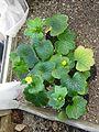 Ranunculus cortusifolius - Flickr - peganum (3).jpg