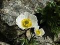 Ranunculus glacialis (flower).jpg