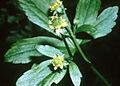Ranunculus recurvatus NRCS-1.jpg