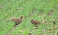 Rapphöna Grey Partridge (14334064297).jpg