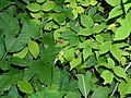 Raspberry And Poison Ivy Leaves.JPG