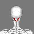 Rectus capitis posterior major muscle back.png