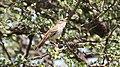 Red-backed Scrub-Robin (Cercotrichas leucophrys) (45855324734).jpg
