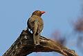 Red-billed Oxpecker, Buphagus erythrorhynchus, at Kruger National Park, South Africa (20904186575).jpg