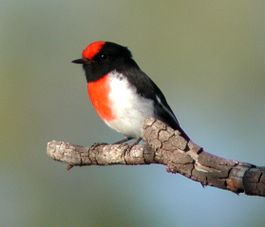 Red-capped Robin mulgaview.JPG