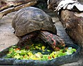 Red-footed Tortoise (4748200556).jpg