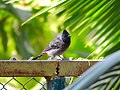 Red-vented Bulbul on a fence.jpg