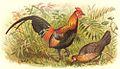 Red Jungle Fowl.jpg