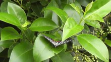 File:Red Ring Skirt (Hestina assimilis) butterfly.webm