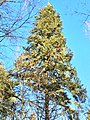 Red Spruce in New Hampshire.jpg