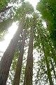 Redwoods (983248126).jpg