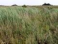 Reeds below Stonyford Pond, New Forest - geograph.org.uk - 215081.jpg