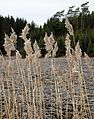 Reeds by a frozen newly ploughed field.jpg