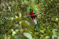Resplendent Quetzal male - Cloud Forest in Costa Rica S4E9570 (26485498815).jpg