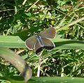 Reverdin's Blue. Plebejus argyrognomon. Female - Flickr - gailhampshire.jpg