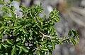 Rhamnus saxatilis cf. (7408727096).jpg