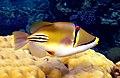 Rhinecanthus assasi - Rotmeer-Picassodrueckerfisch 0939.jpg