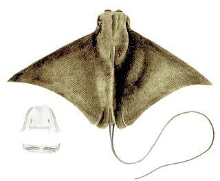 Flapnose ray species of Elasmobranchii