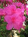 Rhododendron 'Yuriy Gagarin' 04.JPG