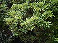 Rhododendron ¿ campanulatum ? (7786911282).jpg