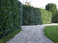 Rhododendron hedge at Lower Farm - geograph.org.uk - 591783.jpg