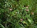 Rhododendron hirsutum 1.jpg