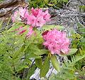 Rhododendron macrophyllum biscuit june 2005.jpg