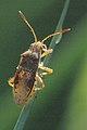 Rhopalus.maculatus.jpg