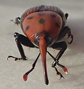 Rhynchophorus ferrugineus female front.jpg