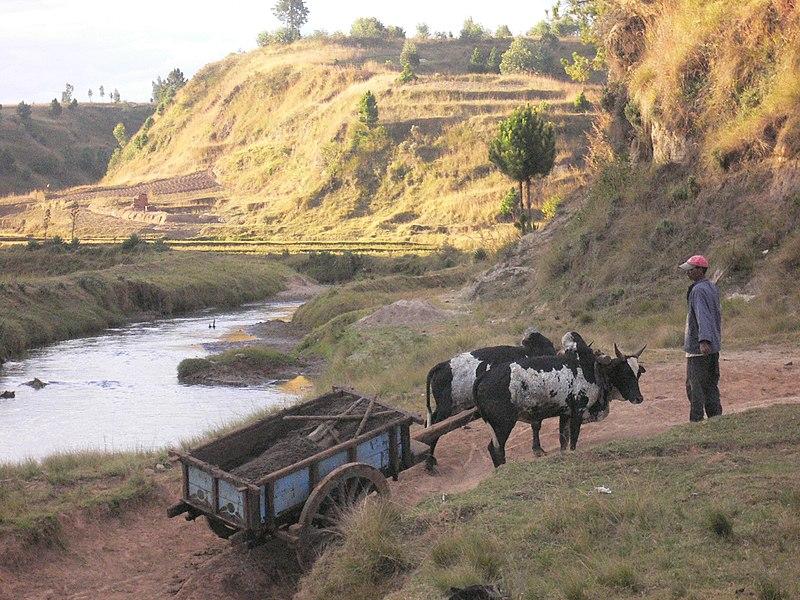 Bestand:Rice, river, Zebu.jpg