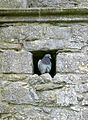 Rock Pigeon (Columba livia) at Rock of Cashel in Cashel, South Tipperary, Ireland - Flickr - Jay Sturner.jpg