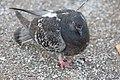 Rock pigeon in Las Vegas Park.jpg